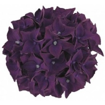 Hortensia Deep Purple Dance